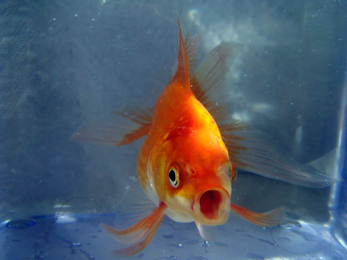 mobile user attention span of goldfish