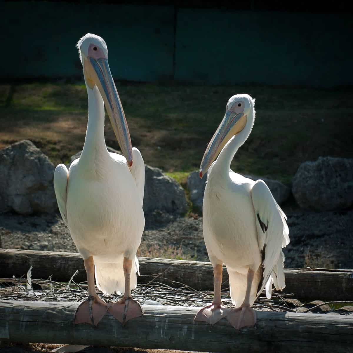 A photo of two similar-looking pelicans side by side, the one on the right is slightly smaller.