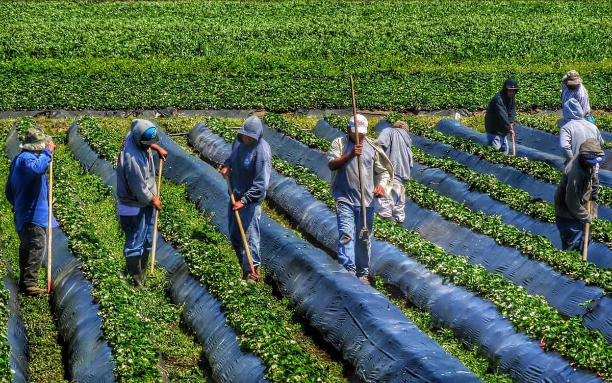 A photo of workers maintaining a field of crops.