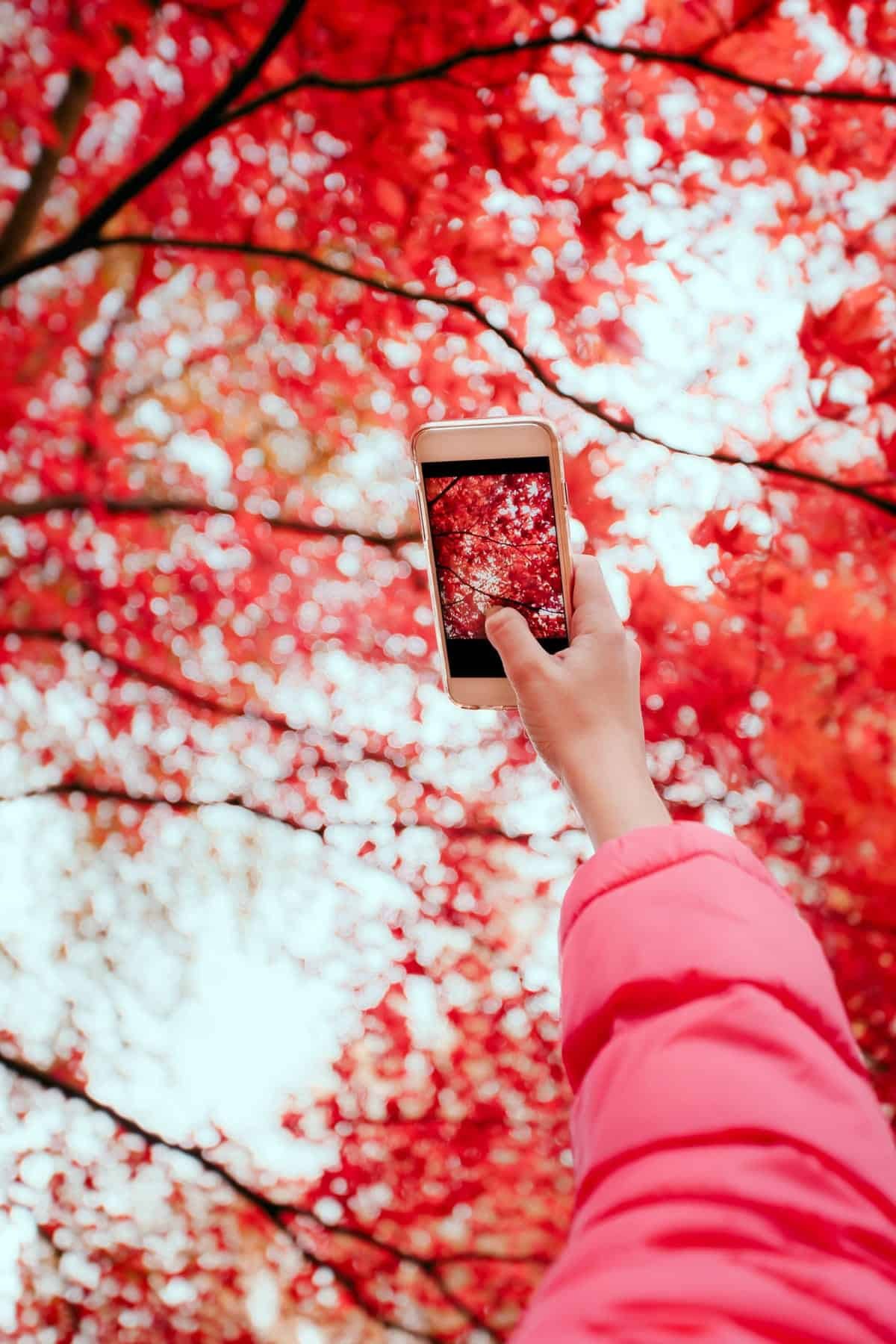 A photo of a person holding up their phone to take a picture of red leaves on a tree.