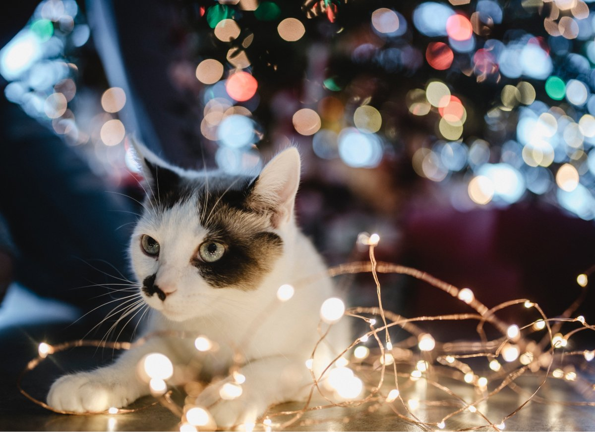 A photo of a cute black and white cat relaxing by a string of Christmas lights